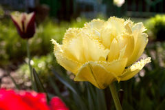 Der Garten der Tulpen im Früjahr Lizenzfreie Stockfotos