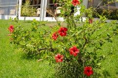 Der Garten des Hauses voll der roten Blumen lizenzfreie stockfotos