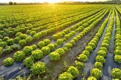 Der Garten des Kopfsalates Lizenzfreies Stockfoto