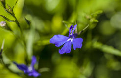 Der Garten - eine Nahaufnahme einer blauen Blume Stockfotos