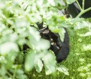 Der Garten - eine schwarze Katze im Sonnenschein und in einer Tomatenpflanze Lizenzfreie Stockbilder