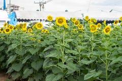 Der Garten von Sonnenblumen Stockfoto
