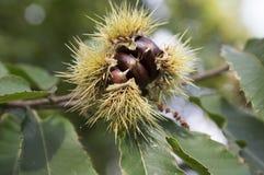 Der geöffnete Castanea, der, die Edelkastanien versteckt werden in den stacheligen cupules, geschmackvolles bräunliches nuts marr stockfoto