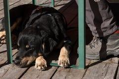 Der gebohrte Hund und bereiten für eine Wanderung vor lizenzfreie stockfotos