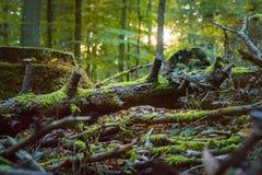 Der gefallene Baum, der durch Moos in einer Sonne bedeckt wird, strahlt Aufflackern aus Herbstlicher Wald Stockfoto