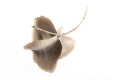 Der geflügelte Samen Stockfoto