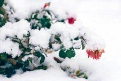 Der gefrorenen rosafarbenen vorderer Schnee Blumen-Niederlassungen des Winters lizenzfreie stockbilder
