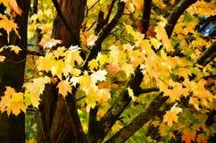 Der gelbe Ahorn Stockbild