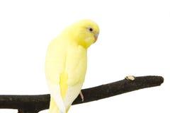 Der gelbe blaue Papagei ist auf einer Niederlassung Stockfotografie