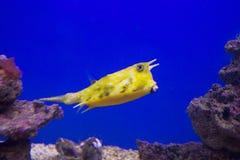 Der gelbe Boxfish Longhorn Stockbild