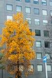 Der gelbe Laubbaum vor dem Gebäude Stockbild