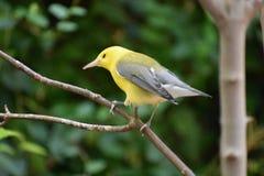 Der gelbe Vogel Lizenzfreies Stockbild