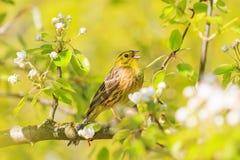 Der gelbe Vogel, der im Frühjahr singt, strahlt und Farben aus Stockfoto