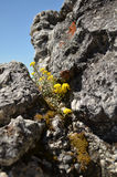 Der gelbe Zierpflanzenbau in hohem Grade in den Bergen lizenzfreie stockfotos