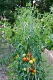 Der Gemüsegarten Stockbilder