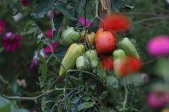 Der Gemüsegarten Lizenzfreie Stockfotos