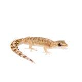 Der gemarmorte Blatt-ausgewichene Gecko auf Weiß Lizenzfreies Stockbild