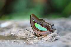 Der gemeine athamas Nawab Polyura Schmetterling stockbilder