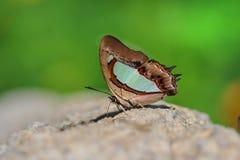 Der gemeine athamas Nawab Polyura Schmetterling lizenzfreies stockbild