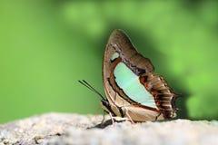 Der gemeine athamas Nawab Polyura Schmetterling stockbild