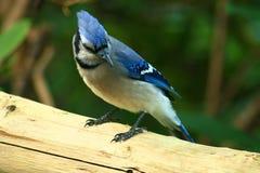 Der gemeine blaue Jay, fügt Farbe hinzu, wohin sie geht. Stockfotos
