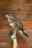 Der gemeine Bussard - in lateinischem Buteo Buteo Porträt des gemeinen Bussardvogels in der Gefangenschaft Stockfoto
