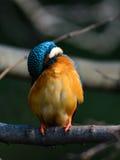 Der gemeine Eisvogel (Alcedo atthis) Lizenzfreies Stockfoto