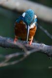Der gemeine Eisvogel (Alcedo atthis) Stockfotos