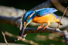 Der gemeine Eisvogel (Alcedo atthis) Lizenzfreie Stockbilder