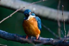 Der gemeine Eisvogel (Alcedo atthis) Stockfoto