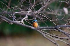 Der gemeine Eisvogel (Alcedo atthis) Stockbilder
