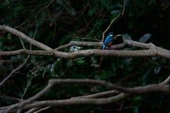 Der gemeine Eisvogel (Alcedo atthis) Stockfotografie