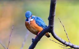 Der gemeine Eisvogel (Alcedo atthis) Lizenzfreie Stockfotos