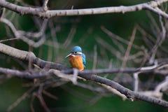 Der gemeine Eisvogel (Alcedo atthis) Lizenzfreies Stockbild