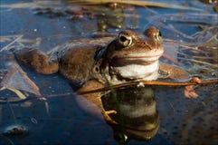Der gemeine Frosch. Lizenzfreie Stockbilder