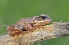 Der gemeine Frosch Stockbild