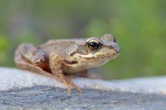 Der gemeine Frosch, Stockbilder