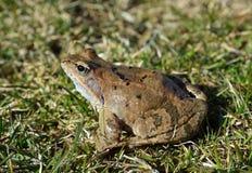 Der gemeine Frosch Stockfoto