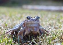 Der gemeine Frosch Stockbilder