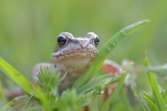 Der gemeine Frosch, Rana-temporaria Lizenzfreie Stockbilder