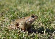 Der gemeine Frosch, Rana-temporaria Lizenzfreie Stockfotografie