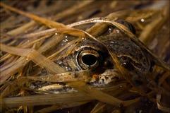 Der gemeine Frosch, versteckt in einem Gras. Stockbilder