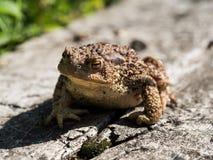 Der gemeine Krötenfrosch, europäische Kröte bufo bufo ist eine Amphibie, die während die meisten von Europa gefunden wird lizenzfreies stockfoto