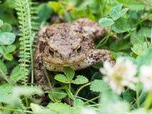 Der gemeine Krötenfrosch, europäische Kröte bufo bufo ist eine Amphibie, die während die meisten von Europa gefunden wird stockfotos