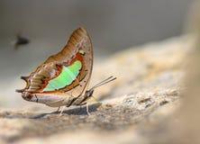 Der gemeine Schmetterling Nawab Polyura lizenzfreie stockbilder