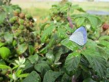 Der gemeine ` Wiesen-Brown-` Schmetterling Stockfotografie