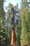Der General Sherman Tree Stockbild