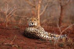Der Gepard, der morgens auf einer roten Erde mit buschigen Büschen im Licht des Hintergrundes liegt Stockbild