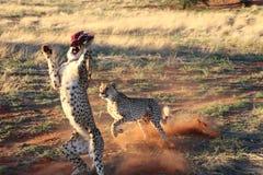 Der Gepard, der zum Fleisch Kalahari Namibia springt und läuft Stockbild