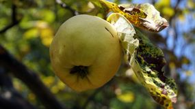 Der Geruch der Quitte im Herbst - unwiderstehlich Stockfotos